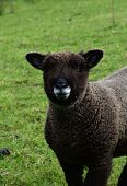 Absolutely Adorable Ryland Sheep With An Adorable Face. poster