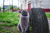 Shorthair Cat With A Collar Looks Up. Fat Cat Hunts Birds poster