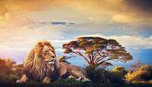 Lion lying in grass on savanna. Sunset over Mount Kilimanjaro. Safari in Africa poster