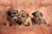 Tough American Bully puppies posing angry like a gang while lying on pink furry background poster