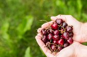 Male Hands Holding Red Berries, Summer. Bright Handful Fresh Wild Superfood Healthy Lifestyle Food S poster