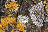 The Bark Of An Old Tree Covered With A Moss And Lichens As Structure. Tree Bark Against The Backgrou poster