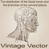 Vector concept or conceptual old vintage anatomy drawing of human facial nerve ideal for neurology,medical,cerebral designs after Practical And Surgical Anatomy by Erasmus Wilson, Philadelphia,1851