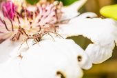Nice Light Brown Spider Perched On White Bloom Hunted A Fly poster