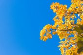 Fall Leaves Background With Free Space For Text.autumn Colorful Bright Branch Tree With Bright Folia poster