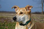 Carolina dog - Closeup