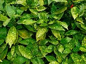 Aucuba Japonica Or Japanese Bush Shrub With Yellow Spotted Leaves In Spring Park Foliage Background  poster
