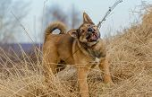 The Energetic And Active Puppy Is Playing In Field In Rural. poster