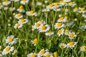 Bloom. Chamomile. Blooming Chamomile Field, Chamomile Flowers On  Meadow In Summer, Selective Focus, poster