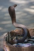 stock photo of king cobra  - King cobra snake in northern India  - JPG