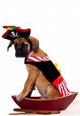 foto of english-mastiff  - English Mastiff puppy dressed up as a pirate and sitting in a boat - JPG