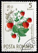 Postage stamp Romania 1964 Wild Strawberries, Fragaria Vesca