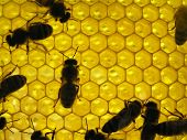 Life Of Insects. Bee On Honeycombs.