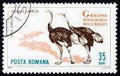 Postage stamp Romania 1964 Ostriches, Struthio Camelus, Bird