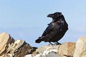 Common raven (Corvus Corax) on a mountain peak at Fuerteventura