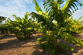 pic of golan-heights  - The Banana Plantation on the Golan Heights - JPG