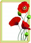 Flower vector illustration of red poppies in the frame.