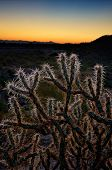 Cholla Cactus At Sunset