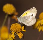 Diminutive Little Yellow, Eurema lisa, butterfly feeding on a Sneezeweed in fall