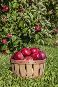 Basket of apples in an apple orchard.