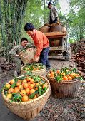 Chinese Farmers Unload Truck With Oranges In Wicker Baskets, Guangxi.