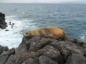 Sea Lion of the Galapagos