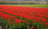 Many Rows Of Red Tulips