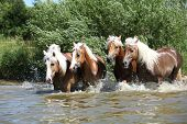 Batch Of Haflingers Running In The Wather