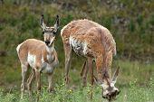 Pronghorn Antelopes Feeding