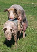pic of animals sex reproduction  - White pigs mating on grass on farm - JPG