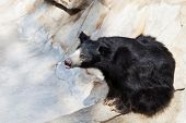 image of ravines  - indian sloth bear in stone ravine in summer day - JPG