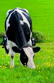 Friesian Milking Cow.