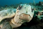 picture of sea-turtles  - close up image of endangered loggerhead sea turtle on coral reef in Jupiter, Florida