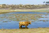 picture of highland-cattle  - Cattle scottish Highlanders in Zuid Kennemerland Netherlands - JPG
