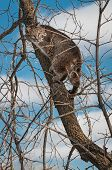 Bobcat (Lynx rufus) Up In Tree
