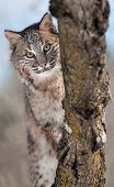 picture of bobcat  - Bobcat  - JPG