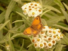 foto of gatekeeper  - Gatekeeper butterfly  - JPG