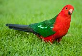 Curious Australian King-parrot (Alisterus scapularis) on the grass, seen near Apollo Bay on the Grat