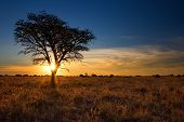 stock photo of dead plant  - Lovely sunset in Kalahari with dead tree and bright colours - JPG