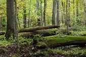 Old Ash Trees Broken Lying In Fall