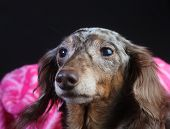 Longhair Rescue Doxie Snug