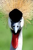 Crowned Crane Bird Look