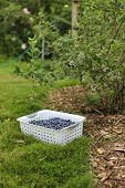 Gathering Harvest. Organic Blueberries