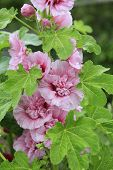 stock photo of hollyhock  - Close up view of beautiful flourishing pink hollyhocks - JPG