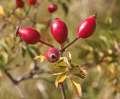 Rosehip fruit