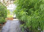 foto of house plants  - Marijuana ( cannabis) hemp plant growing inside of the green house in private garden of Washington State. Legal Medical marijuana law in US. Grower uses leaves to make juice for health support.