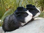 Twin Guinea Pigs In Hats