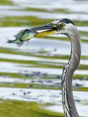 picture of bluegill  - Bluegill gets Caught by a Great Blue Heron in soft focus