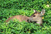Deer Doe Eating Grass