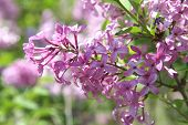 Beautiful Purple Lilac Blossoms